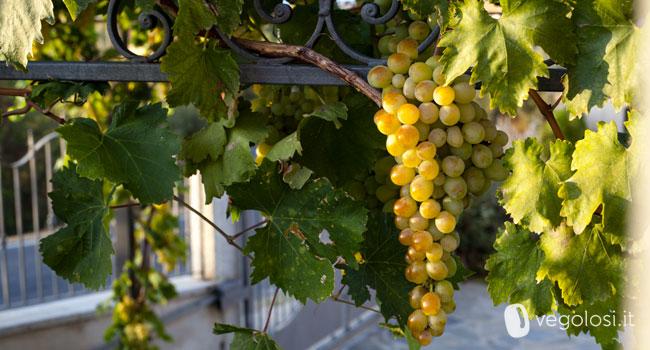 Uva propriet consigli e curiosit - Calorie uva bianca da tavola ...