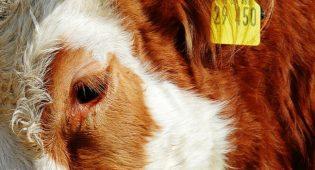 mucca-allevamento
