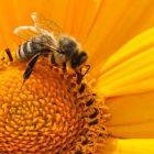api estinzione pericolo ecosistema