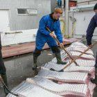 carne balena norvegia