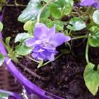 Violetta della Tolosa