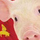 Il maiale non fa la rivoluzione