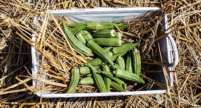 Okra come si cucina propriet e consigli for Ocra pianta