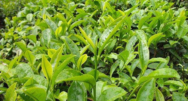 Tutti i t dalla stessa pianta la camelia sinensis for Pianta camelia