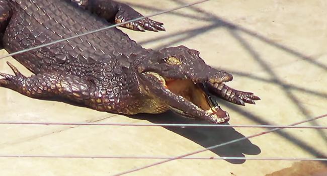 Pelle coccodrilli