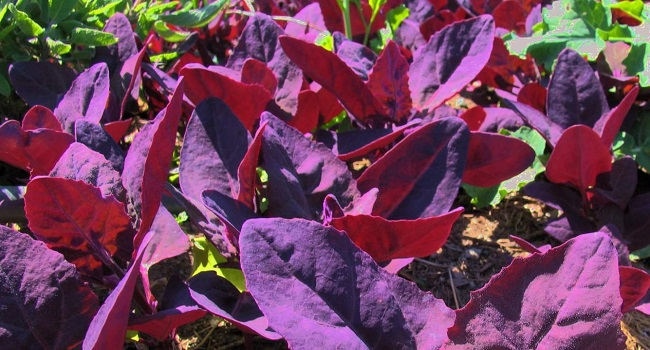 Spinaci rossi