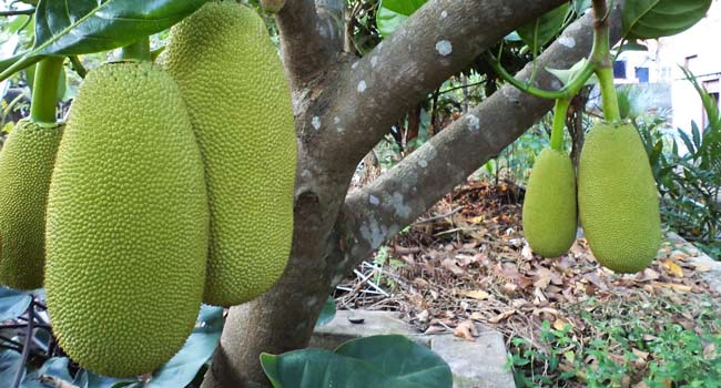 Jackfruits o Giaco