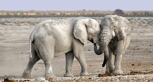 Elefanti traffico avorio