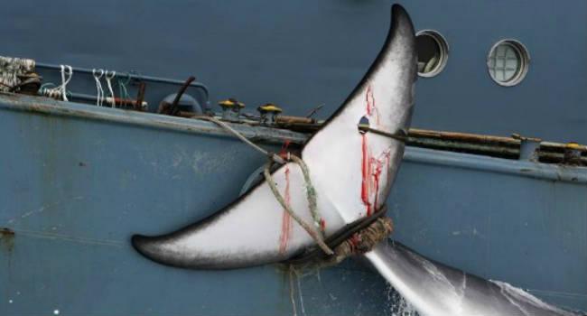 japan-whaling-tail
