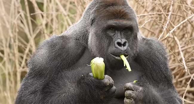 Gorilla-ucciso-zoo-Cincinnati