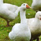 Foie gras Eataly