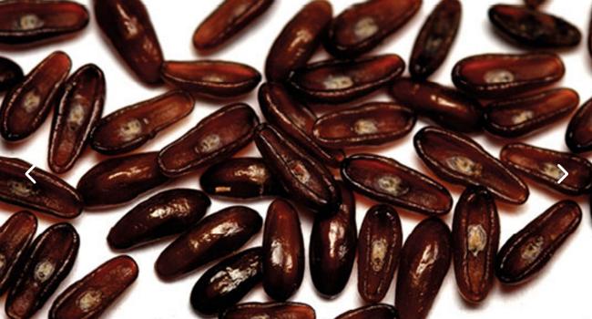 semi di psillio