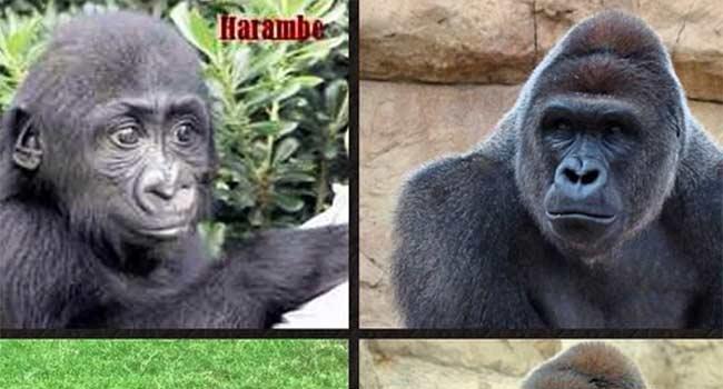 Gorilla bambino