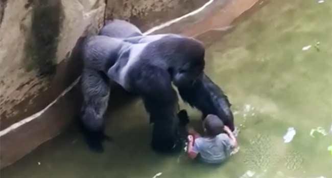 Gorilla bambino zoo