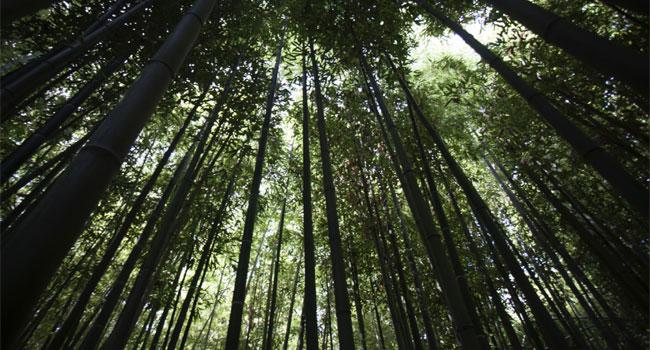 foresta-bambù