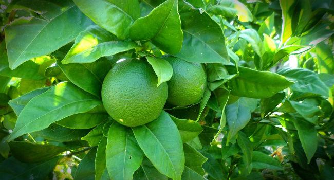 Lime frullato
