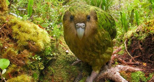 pappagallo-kakapo