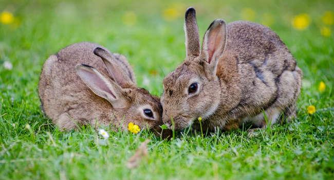 european-rabbits-bunnies-grass-wildlife-large