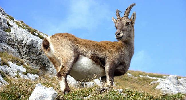 goat-940896_960_720