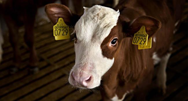 vitello-1024x682