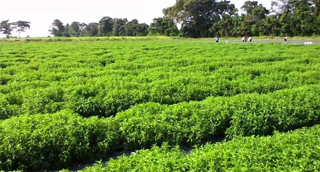 Stevia come coltivarla