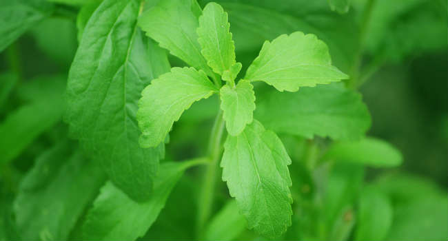 stevia-74187_960_720