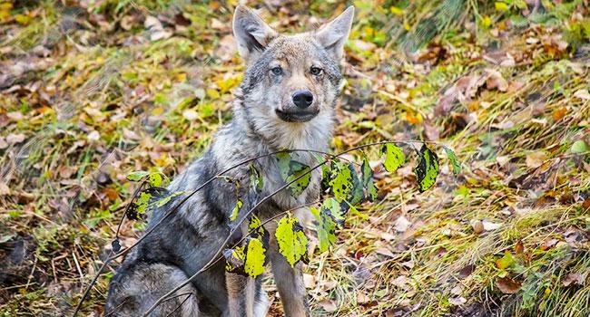 Abbattimento lupi italia
