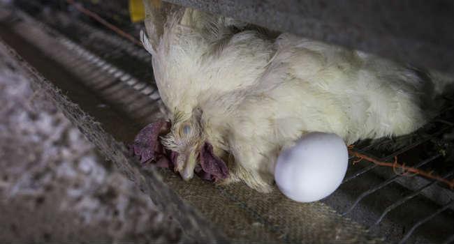 Allevamento galline uova italia