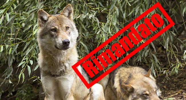 Abbattimento lupi rimandato