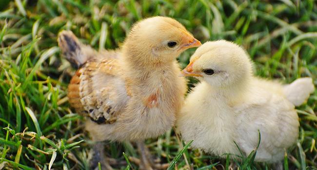 chicks-1572370_1280