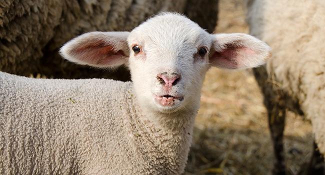 lamb-2100396_1280