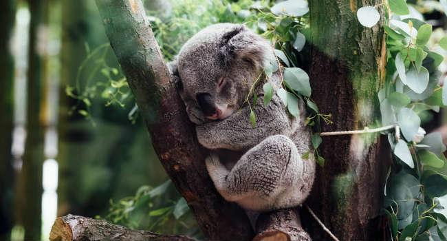 koala estinzione