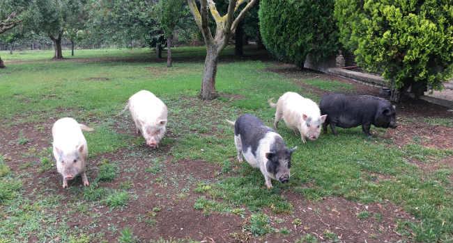 Animali da fattoria come cane e gatto l 39 esperienza di for Animali da giardino