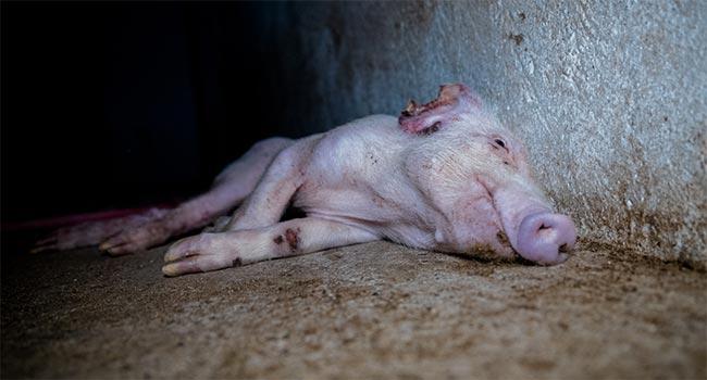 Prosciutto-di-parma-nuove-immagini indagini Essere Animali