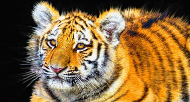 cucciolo tigre estinzione