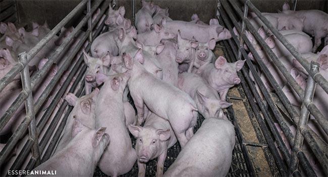 Nuova Indagine Essere Animali Prosciutto di Parma