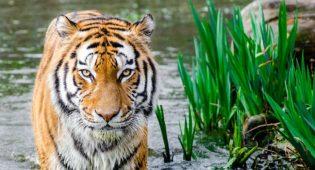 tigre in via di estinzione