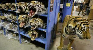 tigri imbalsamate deposito Canada