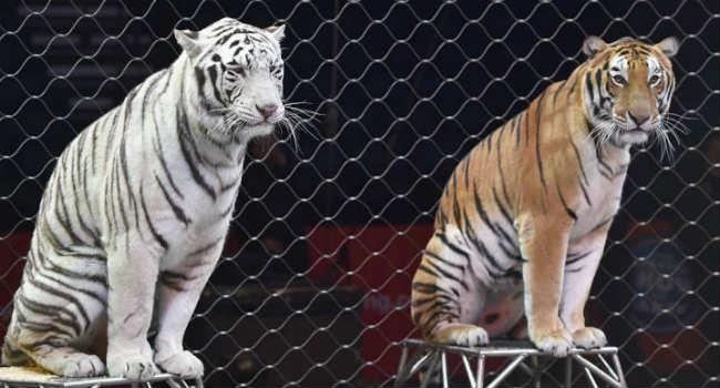 tigri-circo