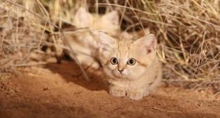 Per la prima volta in un filmato: i cuccioli di gatto della sabbia