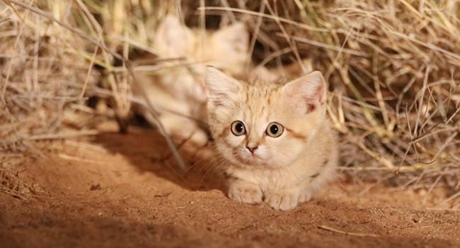 Tanto Carini Quanto Cattivi Sono I Cuccioli Di Gatto Della Sabbia