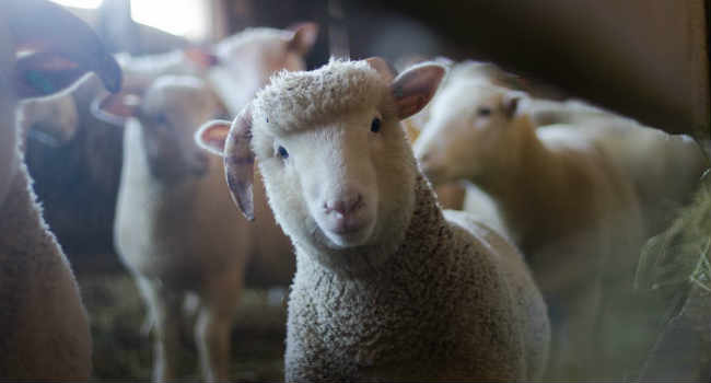 allevamento bio pecore