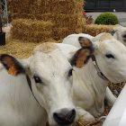 Macelleria Grandate Mucche