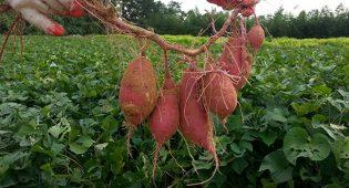 Batata: utilizzi, ricette e proprietà benefiche della patata dolce