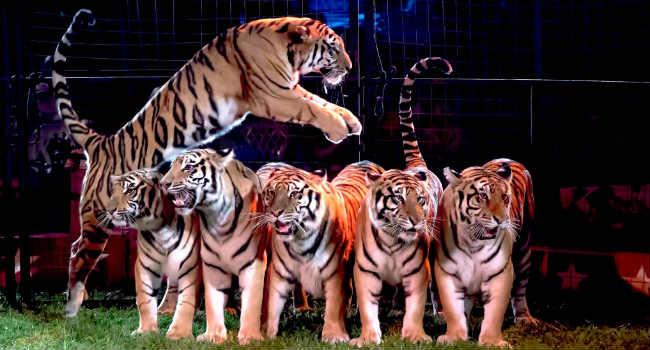 tigri circo