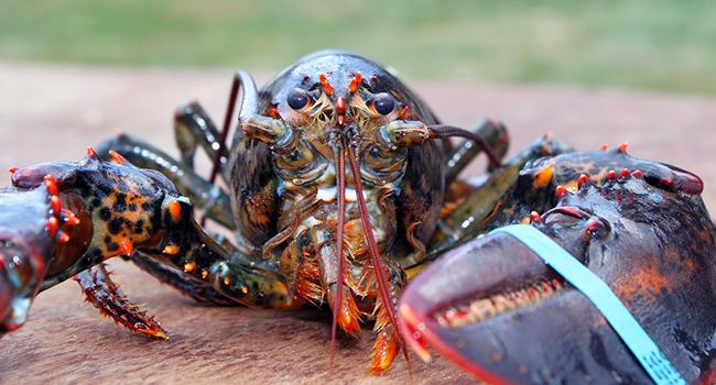 Aragoste ancora vive nell'acqua bollente? In Svizzera sarà vietato