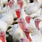 turkeys-2799462_1280