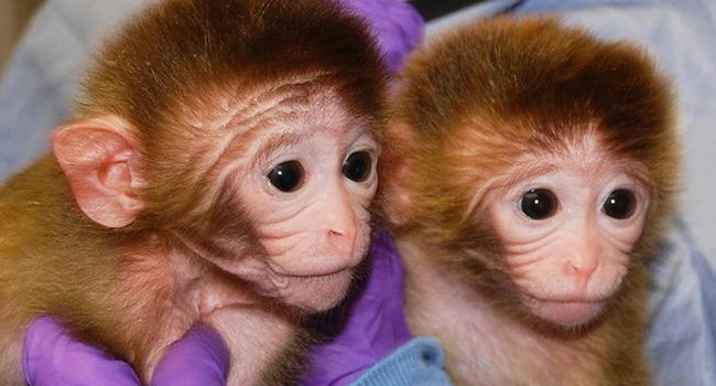 Scimmie-clone