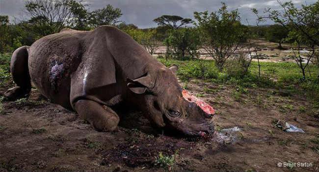 rinoceronte mutilato