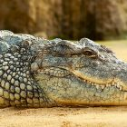aumenta la richiesta di carne di coccodrillo